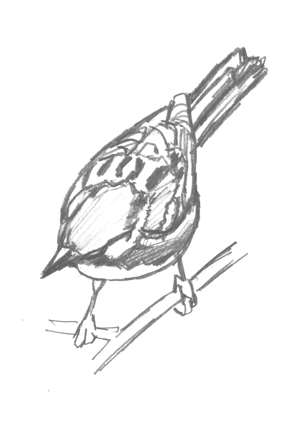 Chestnut-sided sketch.jpg