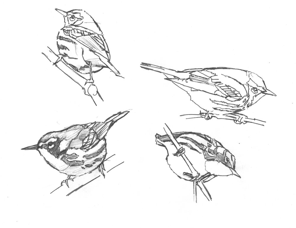 Yellow-throated  sketches.jpg