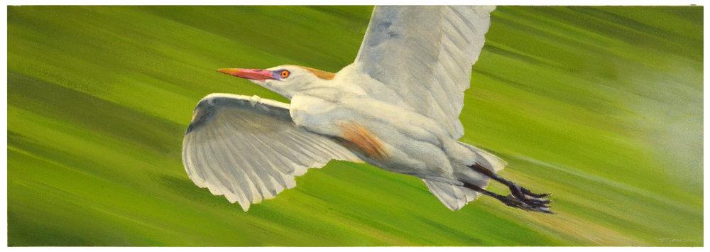 Bird in Flight - Cattle Egret