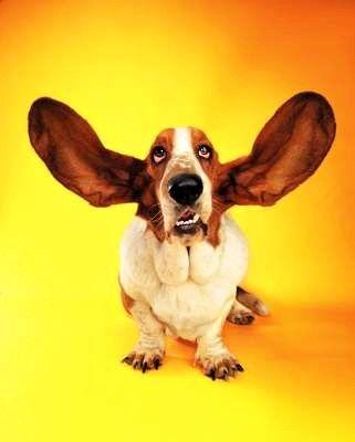 perro-basset-con-grandes-orejas2