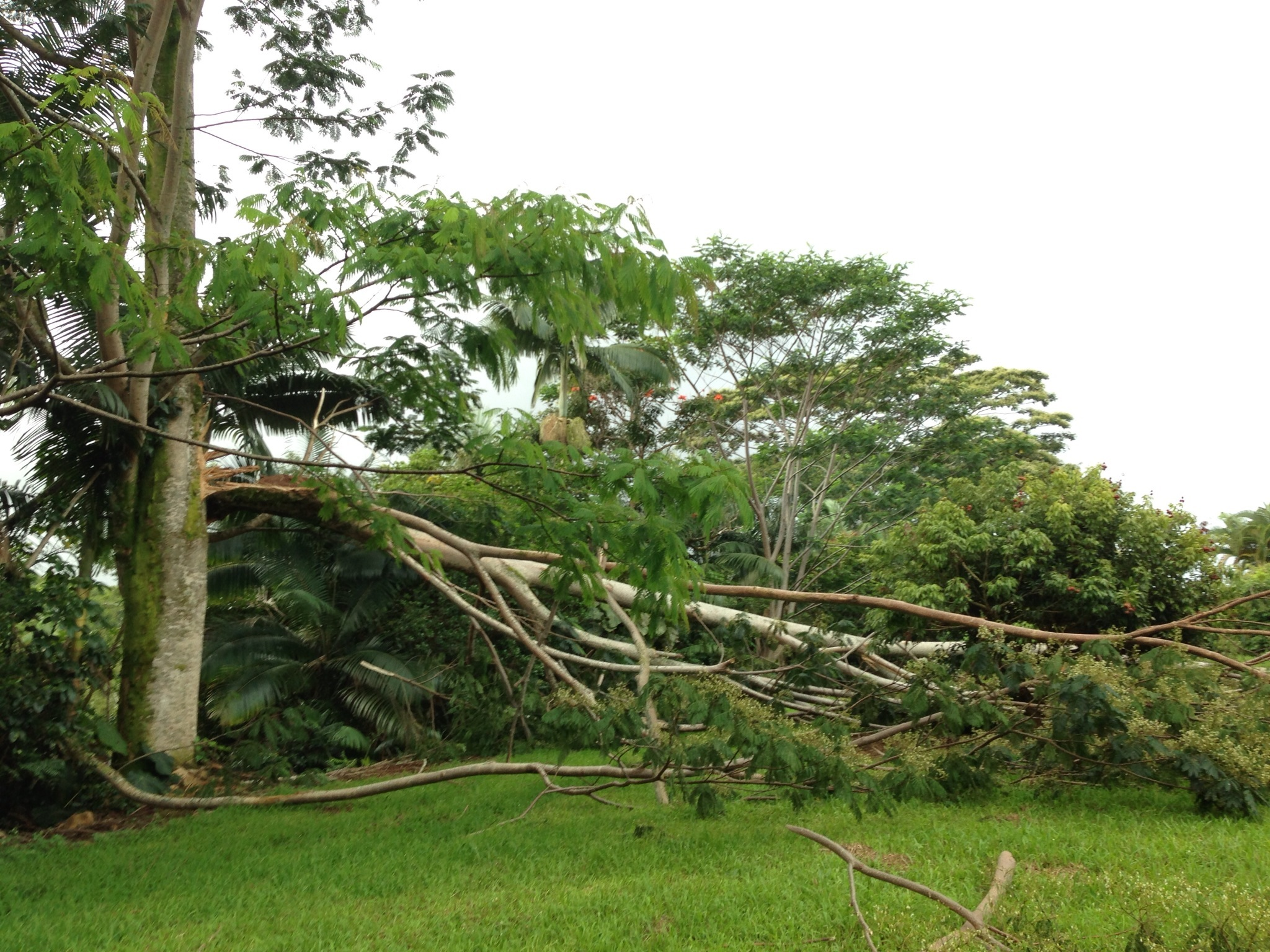 Fallen-Albizia-in-Hilo_SenRuderman