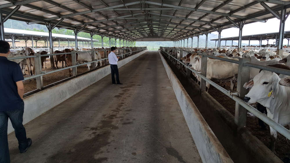 Australian cattle in a Vietnamese Feedlot