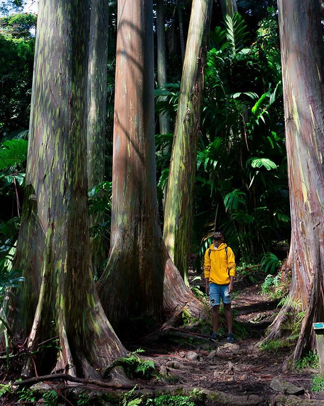We found #RainbowEucalyptus trees on the road to Hana!  Once they shed their bark, the light green layer underneath starts to turn different colours like blue, purple, orange, pink... you get the point.  So cool, right? #treenerd  Sweater: @zara