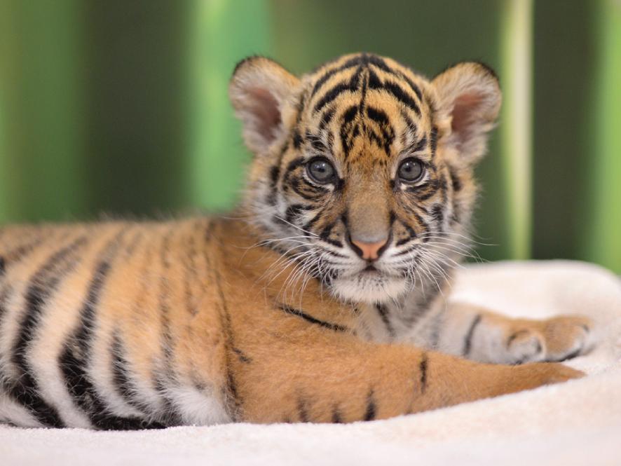 Tiger Photo 1.png