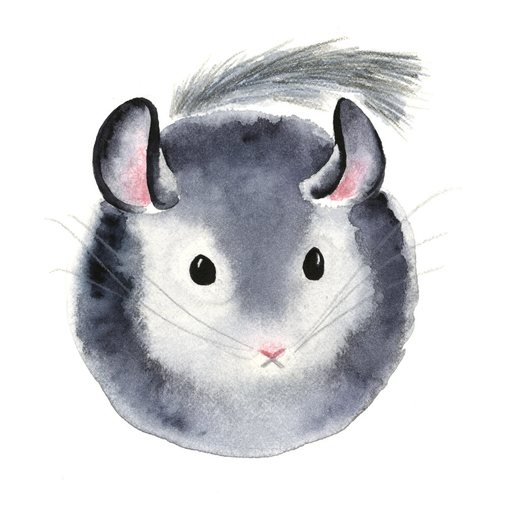 chinchilla_web.jpg