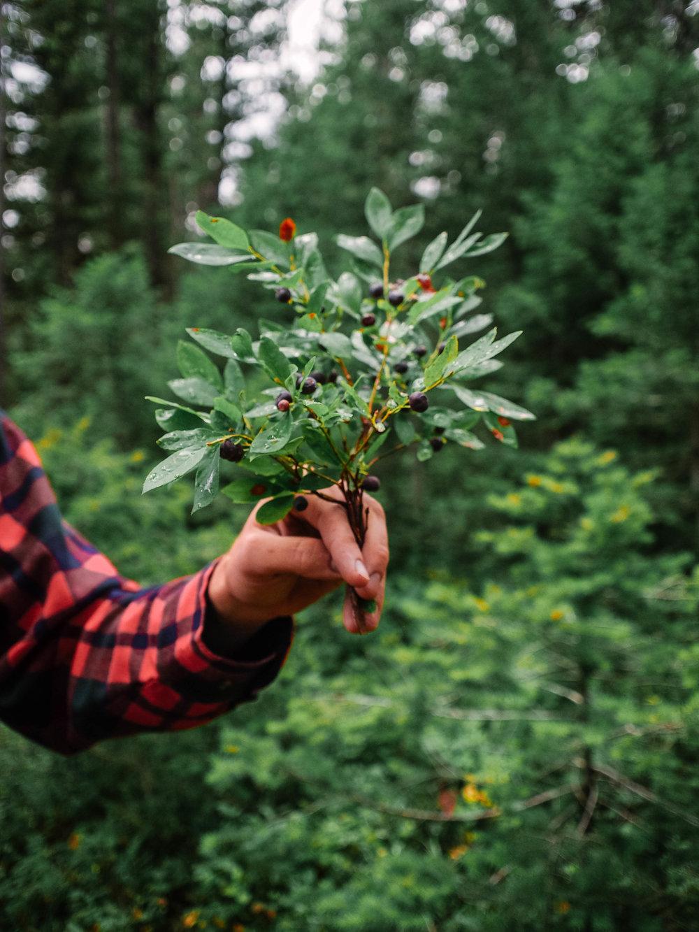 wild huckleberry bush