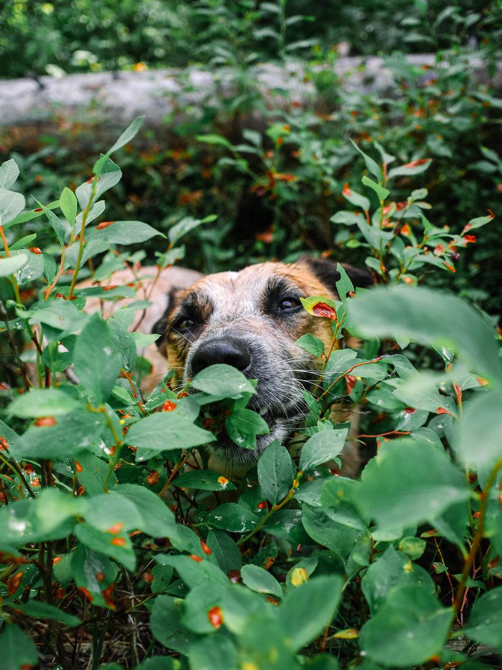 Judd in the huckleberries