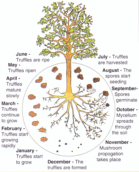 The truffle cycle.