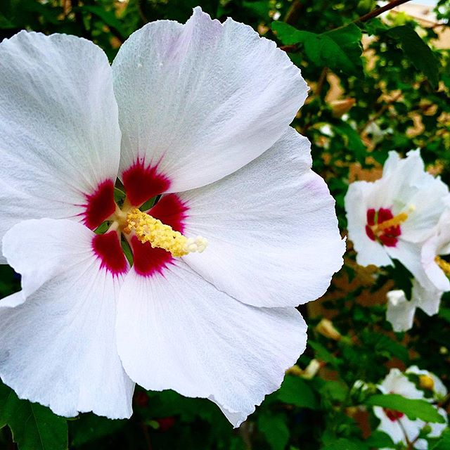 The #flowers of #hibiscus syriacus otherwise known as the rose of Sharon. Despite it's exotic look, this plant actually does fairly well in a New Mexico #landscape Use them as a large specimen plant that also attracts #butterflies!