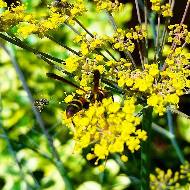 This picture demonstrates how fond #pollinators are of #fennel in the #landscape. Right behind the larger wasp is another waiting it's turn. Bronze fennel is a perennial #herb
