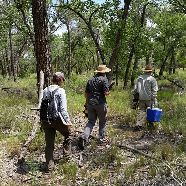 Here we are on the BEMP project again! This is an annual #botanical survey in the middle #riogrande #river #valley. We collaborate with the bosque school and the university of New Mexico in this project to monitor changes in this delicate #ecosystem over time. #southwesthorticulture #botany #garden #natural #gardening #flora #botany #nature #southwest #horticulture #Albuquerque #newmexico #nativeplants #bosque #ecology #biology