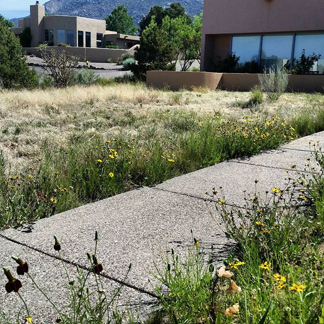 "Today we're trimming this #native #grass and #wildflower #meadow in #Albuquerque. This helps to stimulate grasses which have evolved to be grazed and trimmed by range animals, and creates room for some of the native wildflowers which we carefully avoid cutting during this process. We must help break the trend of ""mow and go"" and educate people on the benefits of a carefully managed, low to no water meadow over costly, outdated lawns."