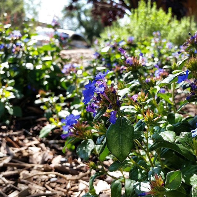 Dwarf  #plumbago  is a gorgeous, spreading  #groundcover  plant that performs well in sun or  #shade . Bright  #blue   #flowers  all season and blood red foliage in the  #autumn .   #southwesthorticulture   #landscapedesign  #landscape   #landscaping   #flora  #southwest   #xeriscape   #plants