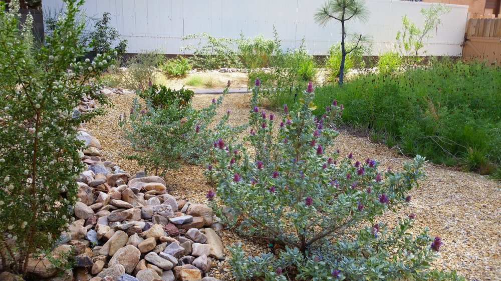 This   #native  #landscape  saves water, attracts wildlife, reduces maintenance and promotes biodiversity. The mojave   #sage  in the foreground perfumes the air and displays brilliant purple flowers in the   #summer  . Even the adjacent   #wildflower    #meadow  is very drought tolerant.