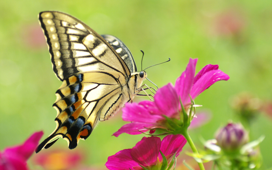 Butterfly-on-a-purple-flower-with-blurred-background-wallpaper_180
