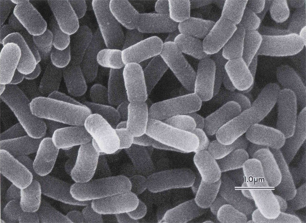Image from  Beer Science: Lactobacillus in Beer - Buffalo Beer Biochemist
