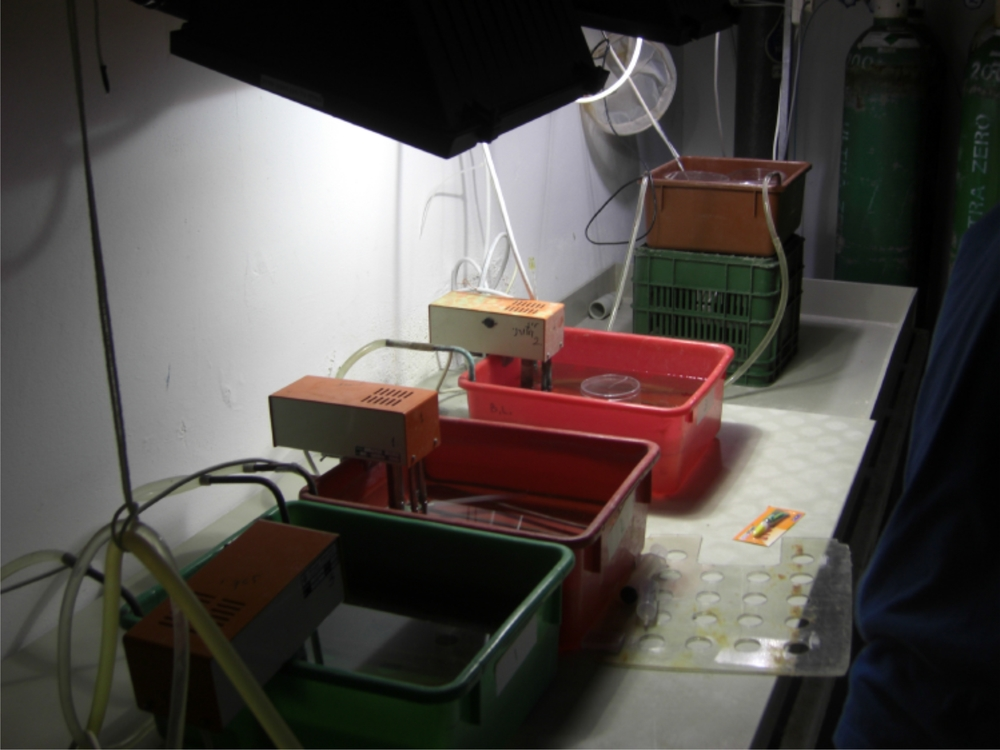 Culturing foraminifera G. ruber at the IUI in Israel (image credit: Michael Henehan, Yale)