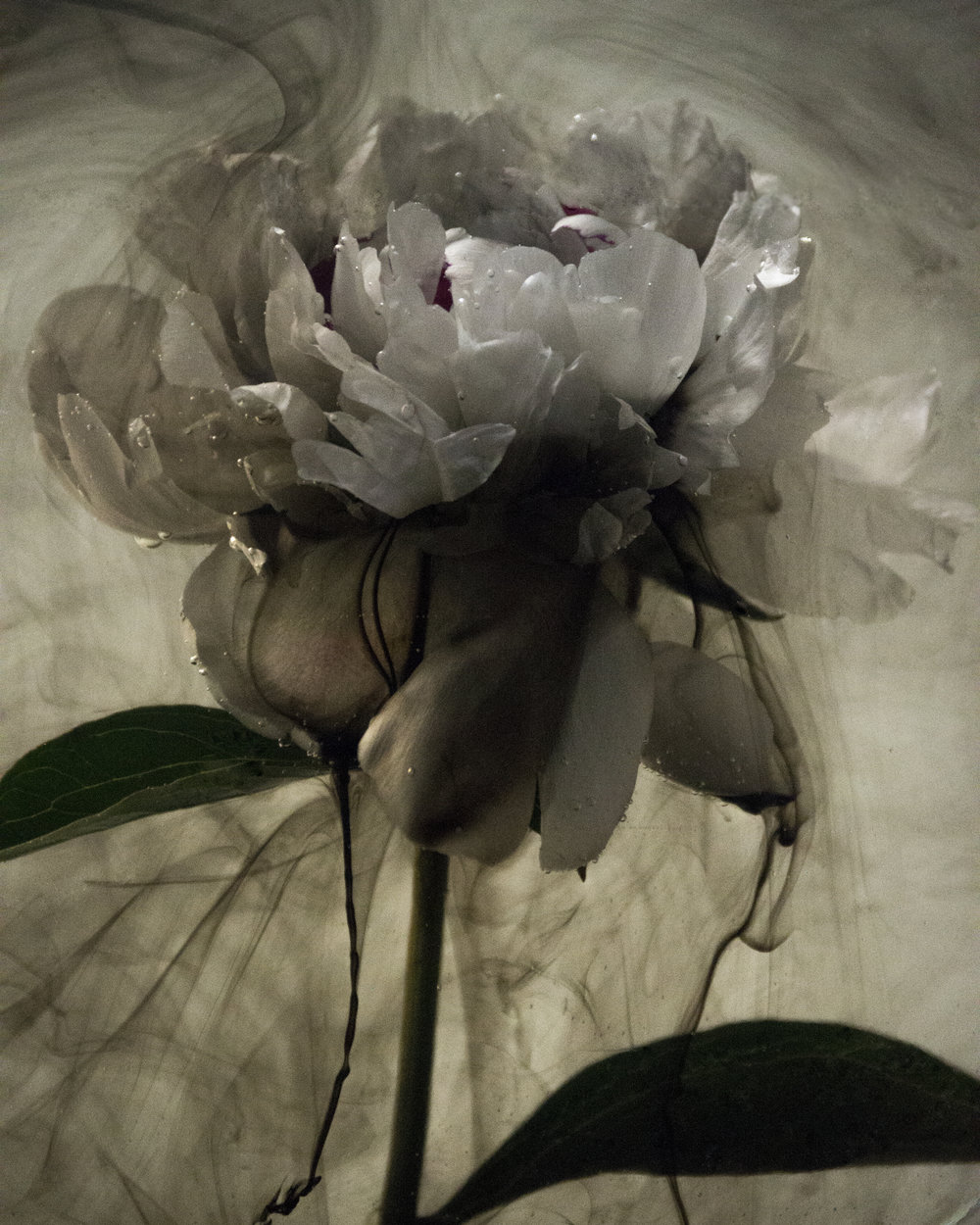 Polluted Peony, Kaleigh Brann