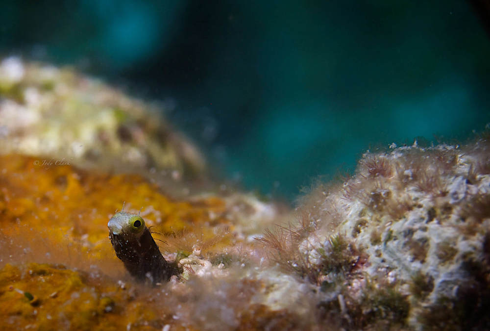 blenny final (1 of 1).jpg