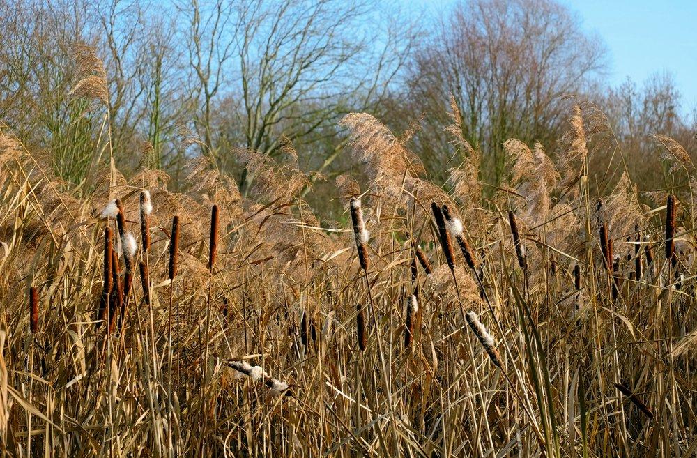 Roseau commun remplaçant graduellement la quenouille, une plante indigène très utile.