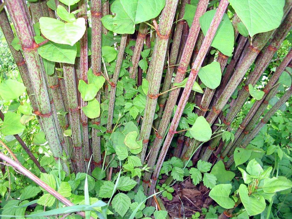 - Tige verte tachetée de rouge et creuse qui ressemble à du bambou.