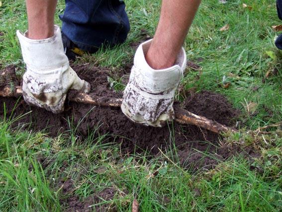- Rhizome (racines) pouvant s'enfoncer à plus de 2 m et pouvant rester en dormance 10 ans dans le sol.