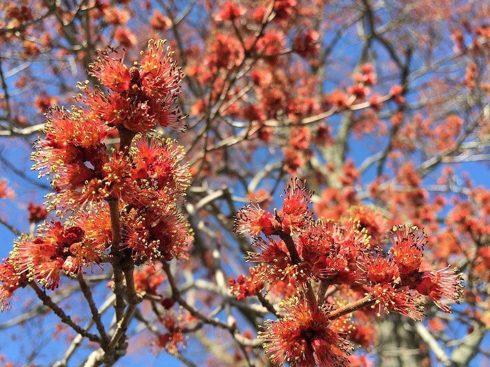 Érable rouge - Acer rubrum