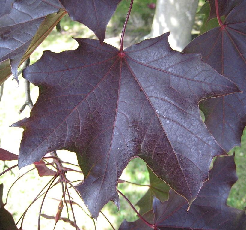 - Feuilles :- Opposées (face à face sur la branche).- Vertes foncées (certaines variétés pourpres).-Tournant au jaune vif à l'automne sans passer par des tons de rouge et d'orange.- À cinq lobes (contrairement à trois lobes chez l'érable à sucre).- Pétiole (tige) contenant une sève laiteuse (sève claire chez l'érable à sucre).Samares :En «V» très ouvertes aux graines aplaties (en «U»ouvertes de 90 à 45° aux graines bombées pour l'érable à sucre).