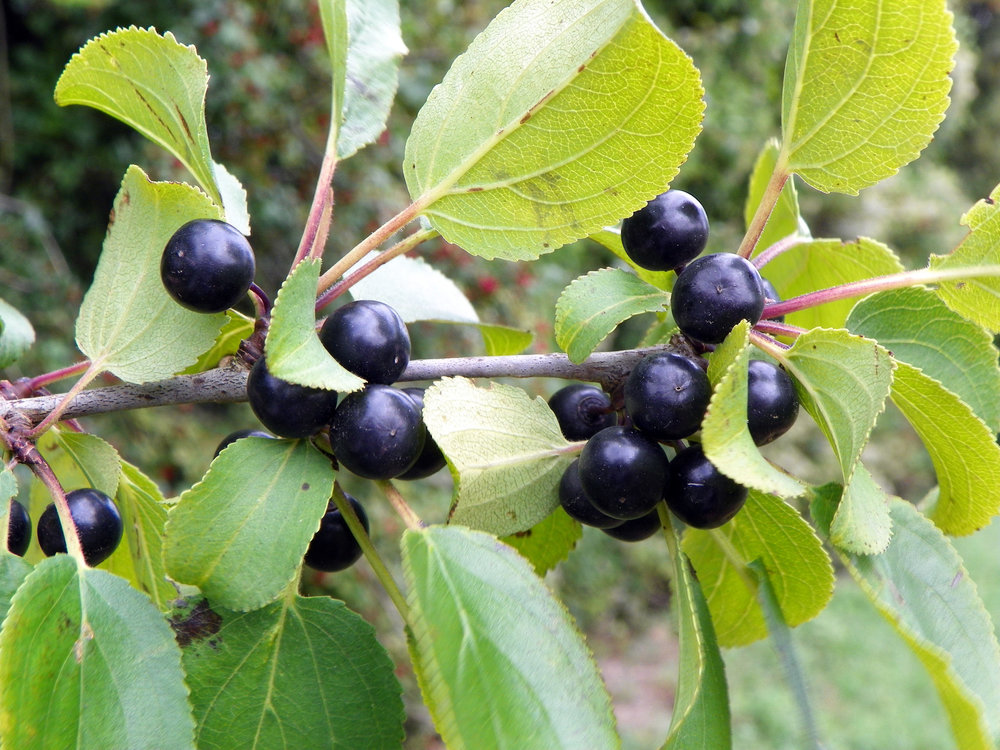 - Arbuste buissonnant de 3 à 8 m.Fruits :- Noirs à l'aisselle des feuilles.-Persistent l'hiver.- Toxiques pour les mammifères.