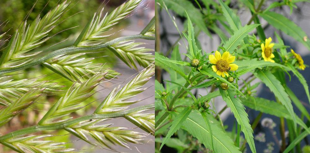 Mélange d'ivraie multiflore et de bident penché - Lolium multiflorum et Bidens cernua
