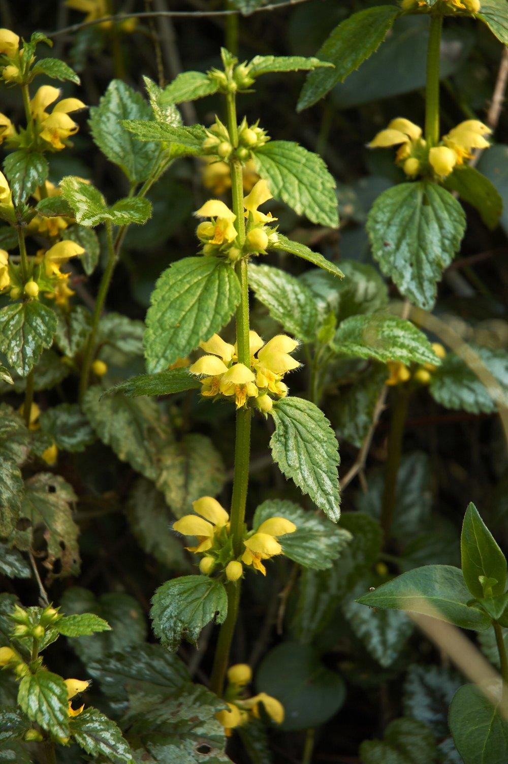 - Plante de 20 à 60 cm de hauteur.Fleurs jaunes avec la corolle pubescente (poils).