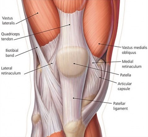 tendons-of-the-knee-478x500