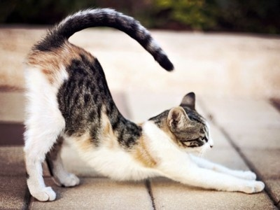 cat-stretching