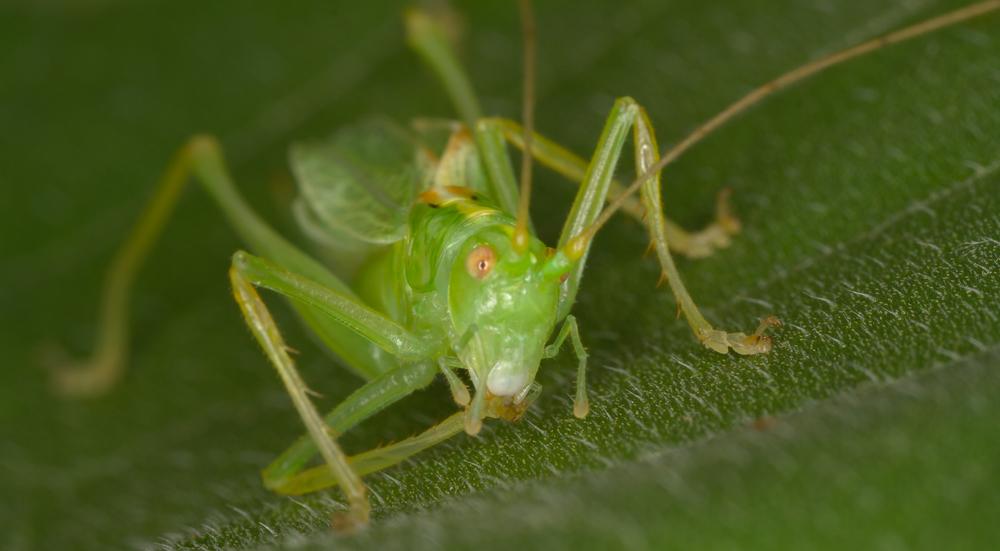 Katydid - Order: Orthoptera, Family: Tettigoniidae