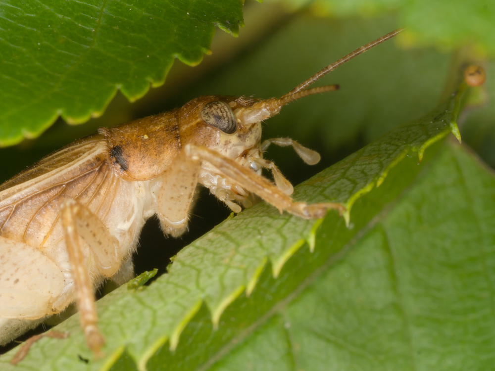 Cricket - Order: Orthoptera, Family: Gryllidae
