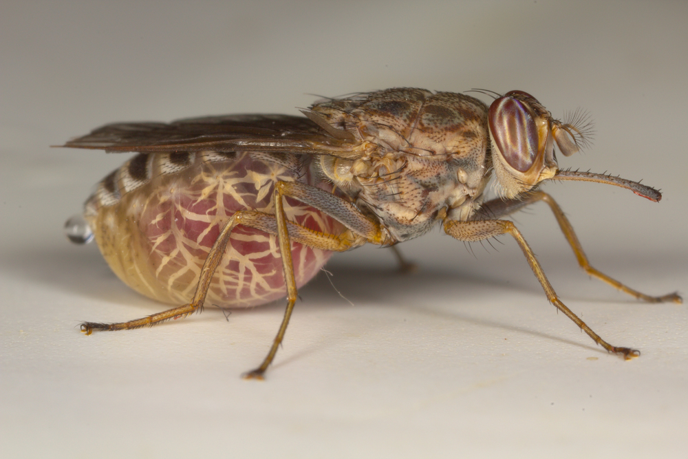 Tsetse Fly - Species: Glossina morsitans