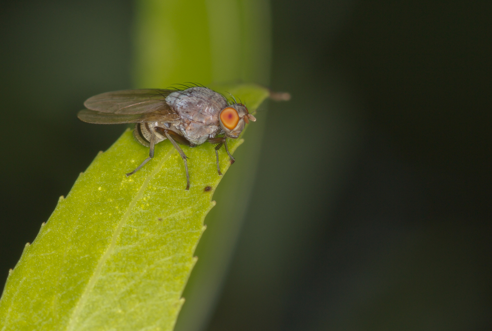 Fly - Family: Lauxaniidae