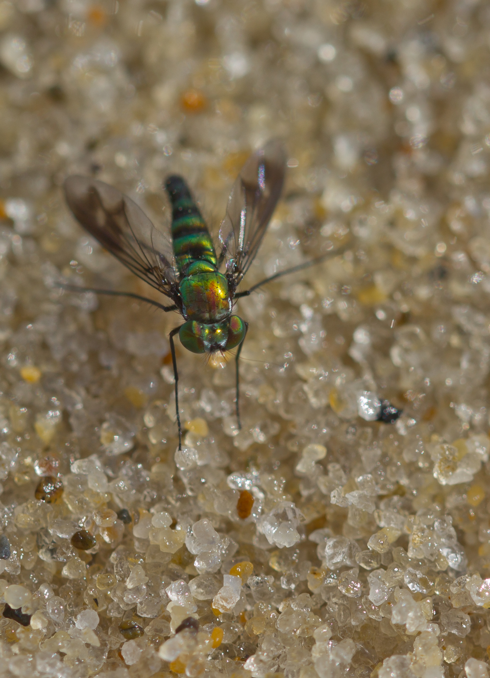 Long Legged Fly - Family: Dolichopodidae