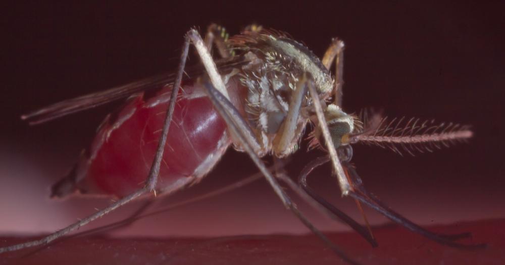 Mosquito - Family: Culicidae Genus: Aedes
