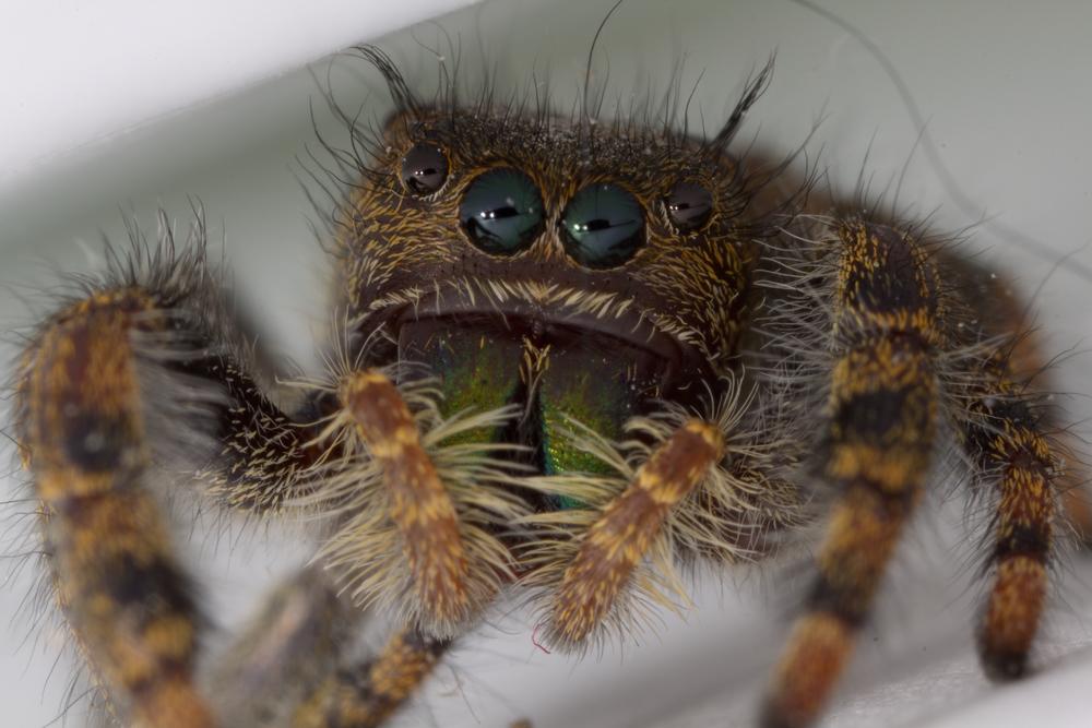 Jumping Spider - Genus: Phidippus
