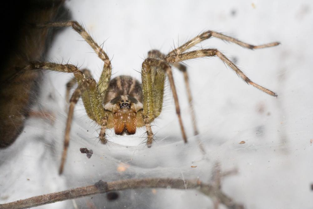 American Grass Spider - Genus: Agelenopsis