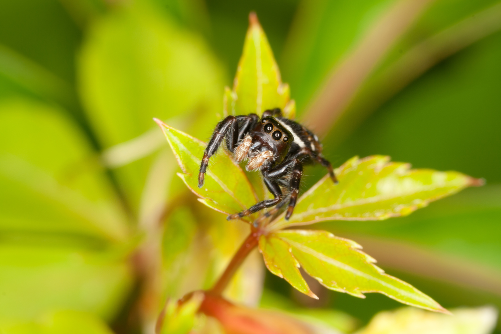 Jumping Spider - Family: Salticidae