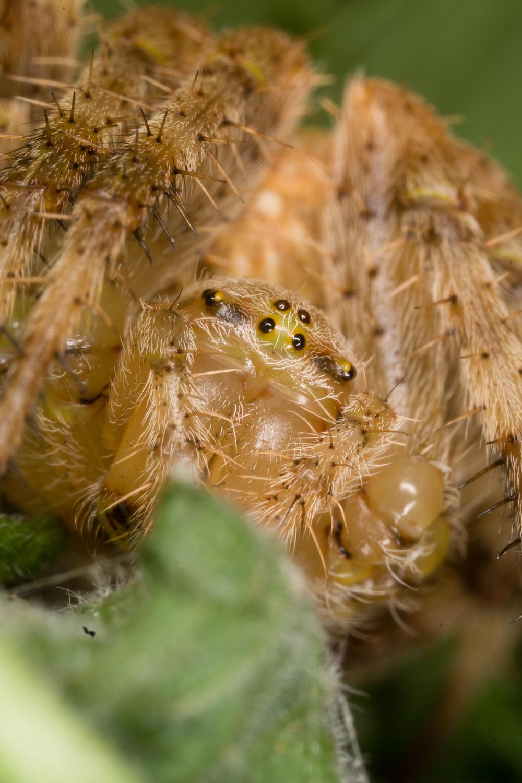 Barn Spider - Species: Araneus cavaticus