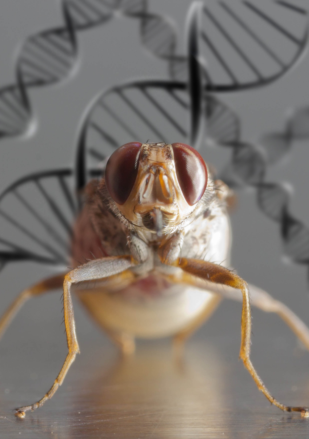 Cover Image for the Tsetse Genome