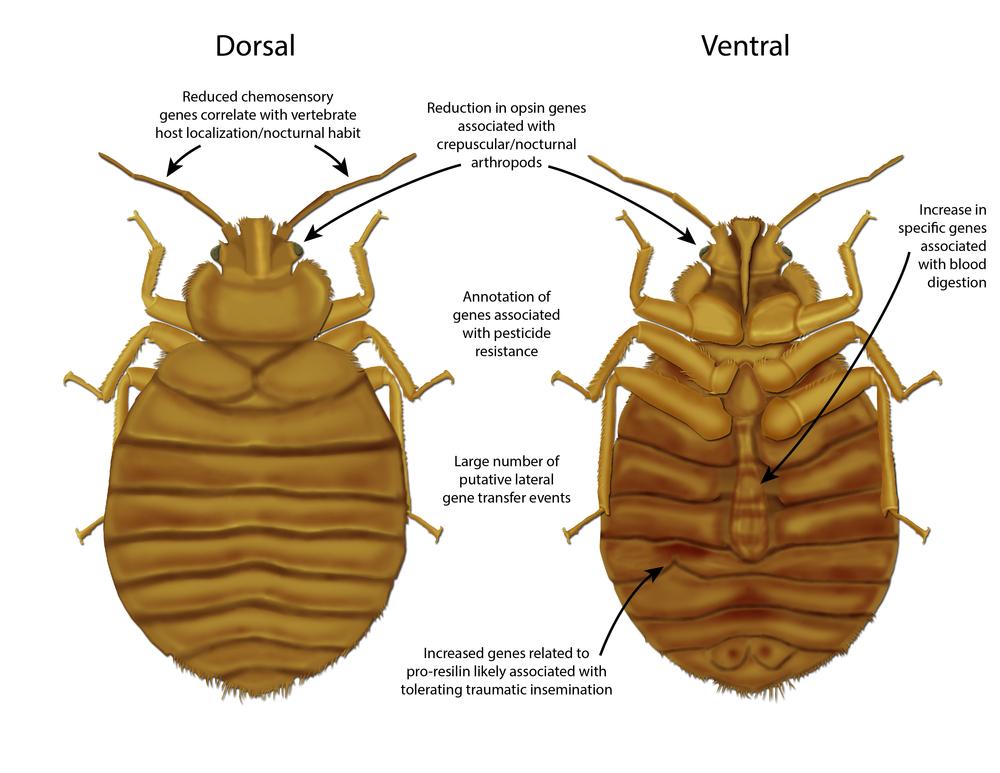 Bedbug Genome Overview