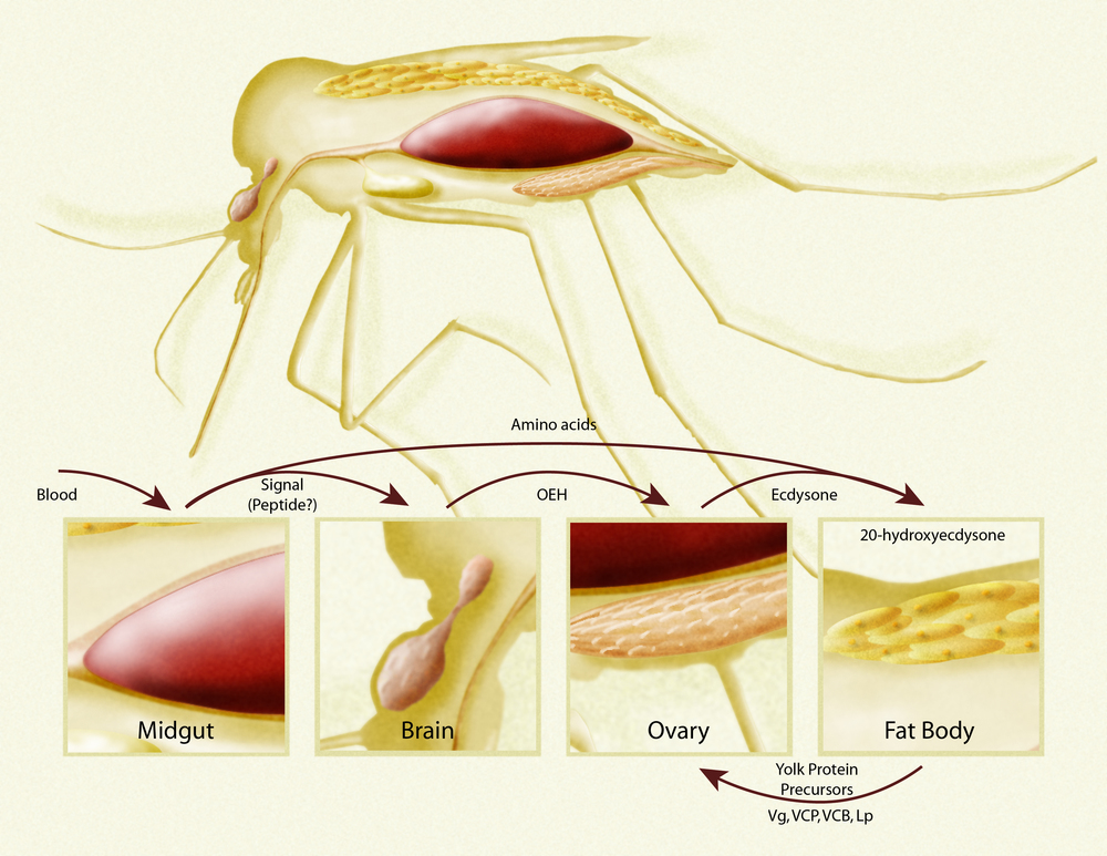 Nutritional regulation of reproduction in the Yellow Fever mosquito, Aedes aegypti