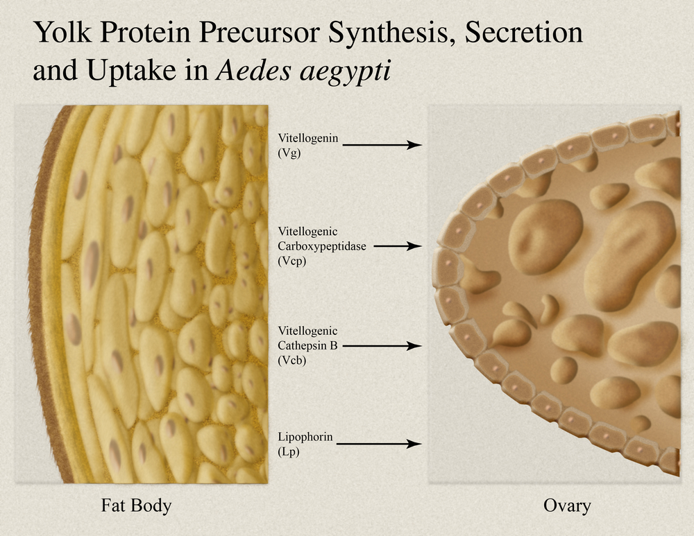 Yolk Protein Synthesis, Secretion and Uptake.