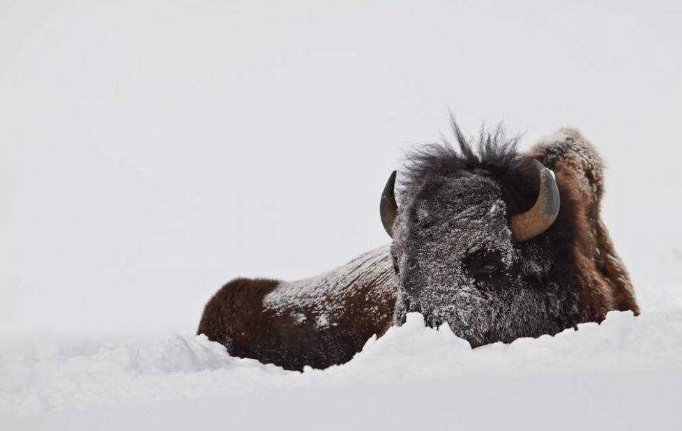 Image Description: A bull bison laying down in the snow. His fur is snowy and he is partially obscured due to the deep snow.