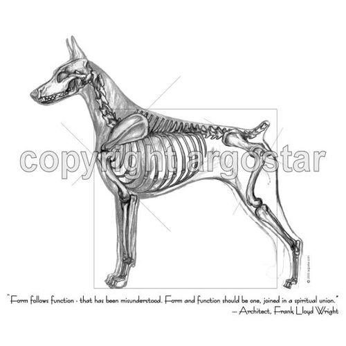 Note Cards - Doberman Pinscher Anatomy — Argostar Dog Art