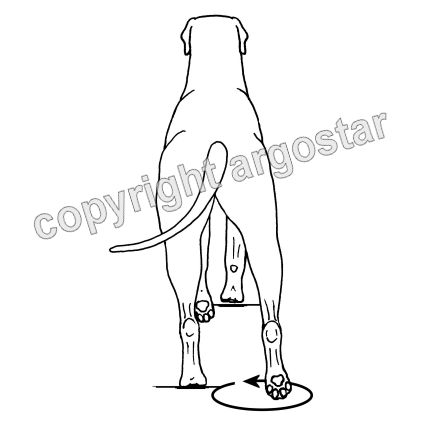 Faulty movement in the dog - circumduction gait